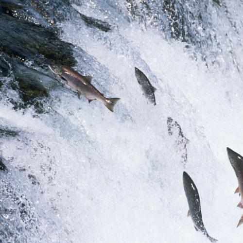 Idaho's wild Salmon