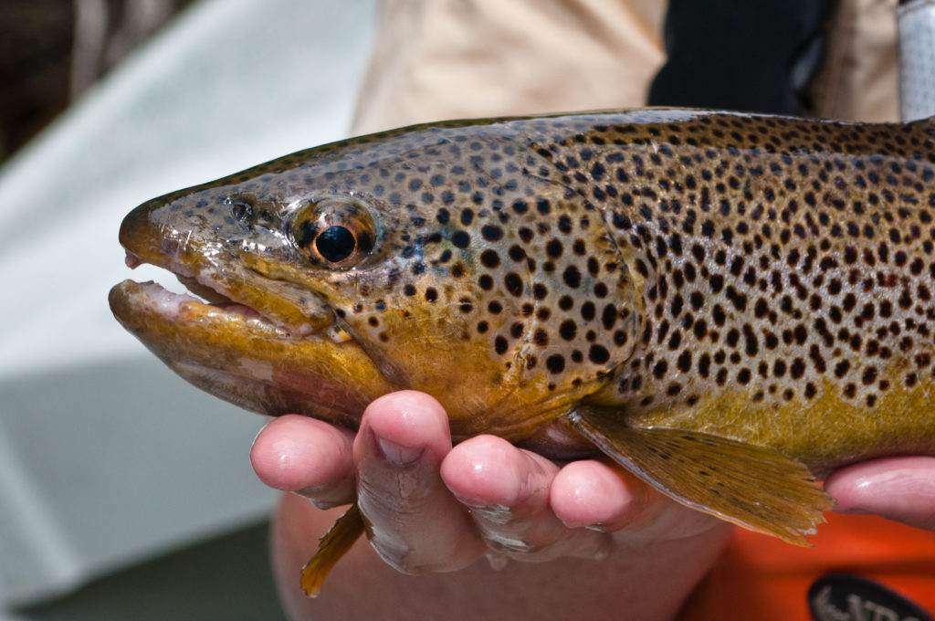 brown trout in aspen